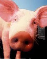 PigFlu.jpg