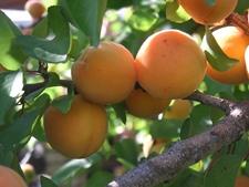 Gastfrutt
